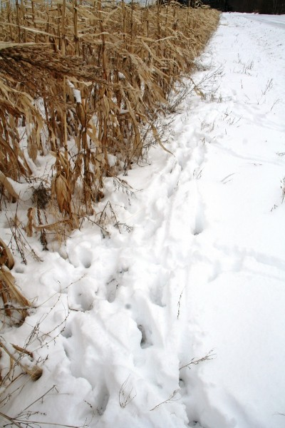 One significant advantage to late season hunting is the predictability of the movements and the ease of reading sign. Deer cannot hide what they are doing. Image courtesy of Bernie Barringer.
