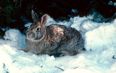 Winter in Michigan means it's rabbit hunting time.
