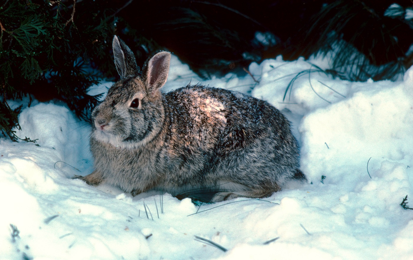winter is rabbit hunting time in michigan outdoorhub. Black Bedroom Furniture Sets. Home Design Ideas