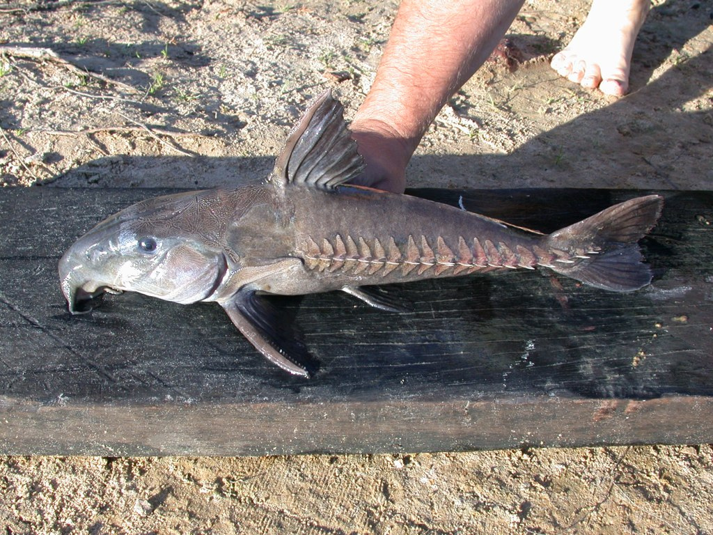 The Electric Catfish And 6 More Bizarre Catfish Species