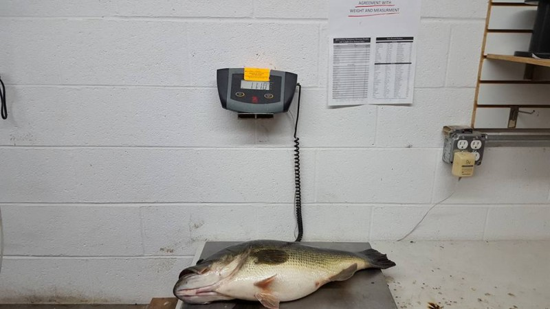 The hefty largemouth on a scale.