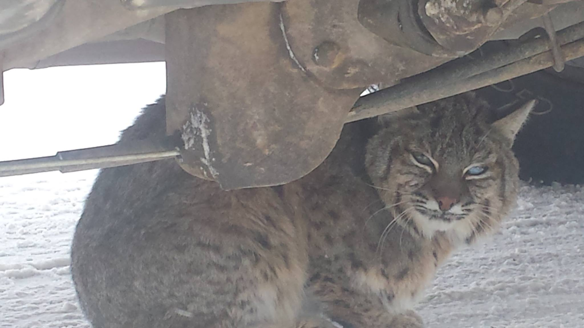 Photos: Game Warden Rescues Bobcat, Rewarded with Bite and Rabies Shots | OutdoorHub