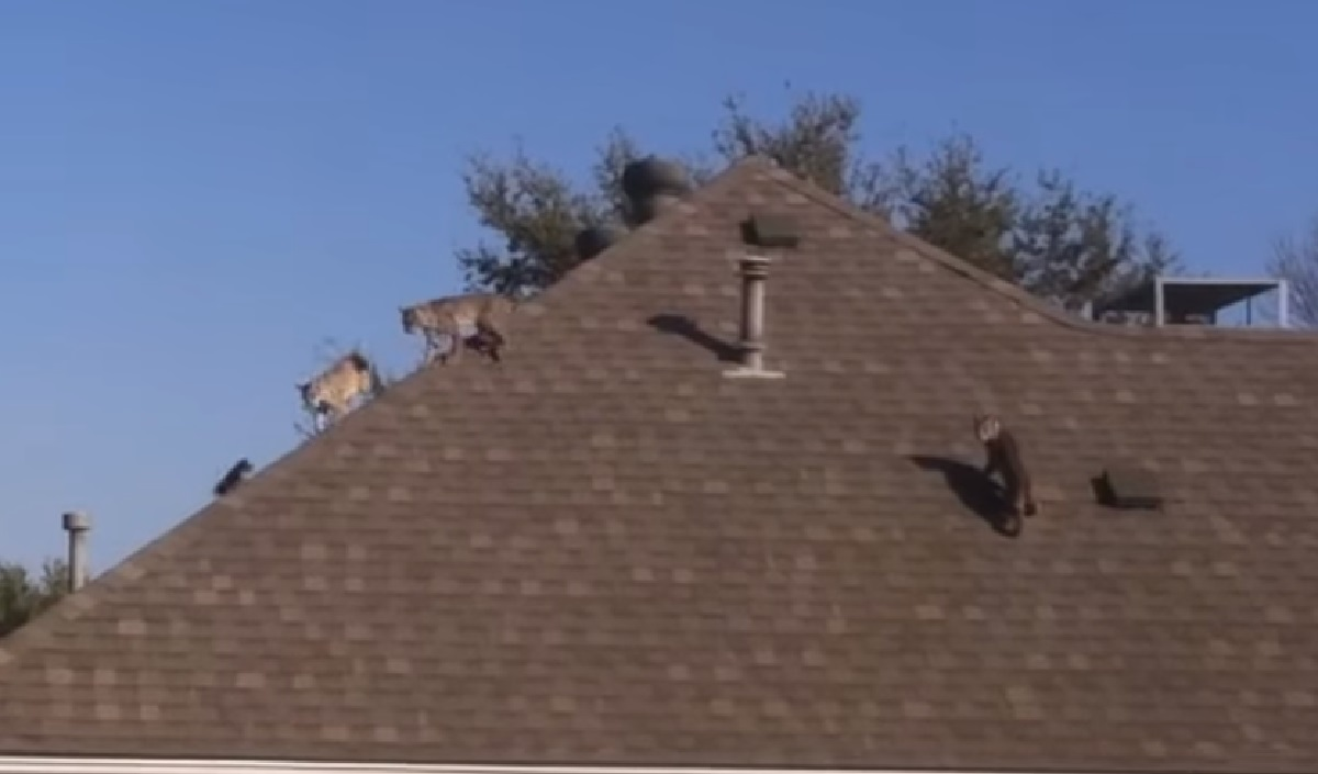 Video Home Owner Finds Three Bobcats Chasing A Squirrel