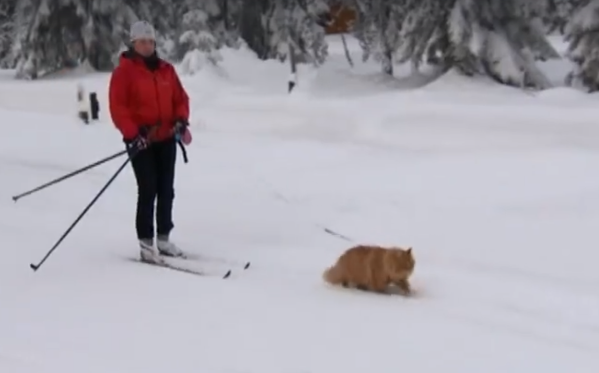 Cat Pulling Skier Video
