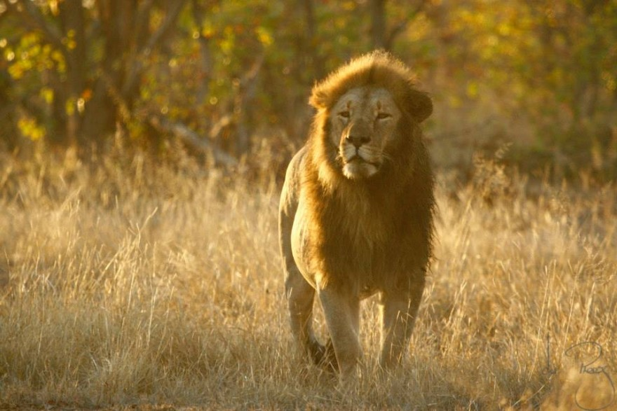 A wildlife reserve in Zimbabwe says it may have to cull 200 lions in the absence of hunters.