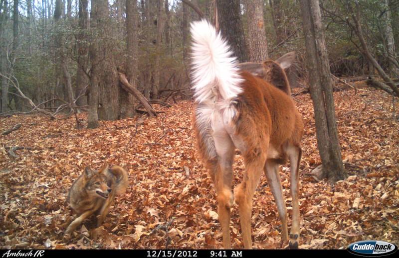 Coyote-Doe107483_2-Cuddeback