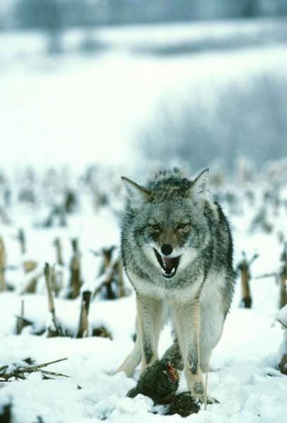 CoyoteAttacksHerbLangePhotoWisDNR