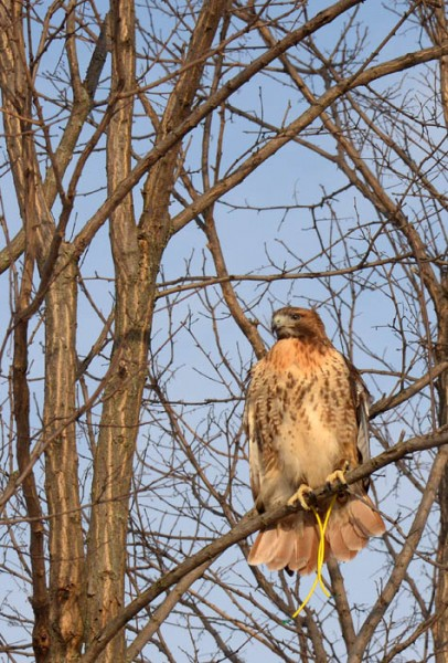 Nala, a red-tailed hawk, watches for rabbits while hunting Thursday in western Wisconsin.