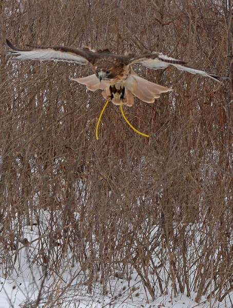 """Nala, a 5-year-old red-tailed hawk, returns to her owner, Patrick LaBarbera, after hunting Thursday. The yellow wires on the hawk's ankles are called """"bullet jesses,"""" and help falconers control the bird while it's on their fist."""