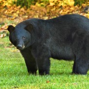 After determining that the recovery criteria for the Louisiana black bear has been met, the USFWS decided to delist the critter.