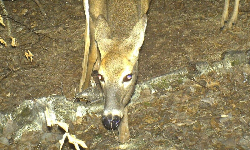 The deer's sense of smell is truly amazing. My pant-leg brushed against this twig when I set the camera in place, the doe is smelling my scent on it.