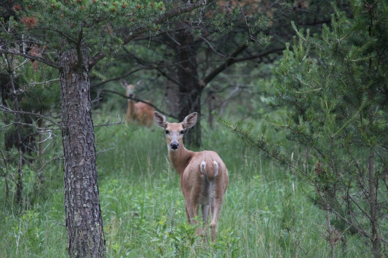 Deer can smell directionally because of the position and shape of their nostrils. This allows them to quickly determine the direction of danger, which they may or may not confirm by looking that direction before fleeing.
