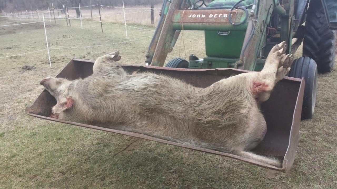 Michigan Deputies Put down 600-pound Wild Pig with 6-inch