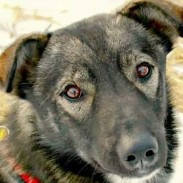 Nash, a three-year-old lead dog for champion musher Jeff King, was killed over the weekend in what some are calling a purposeful attack.