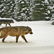 Two adult wolves from the Walla Walla pack, just one of Oregon's growing wolf packs.