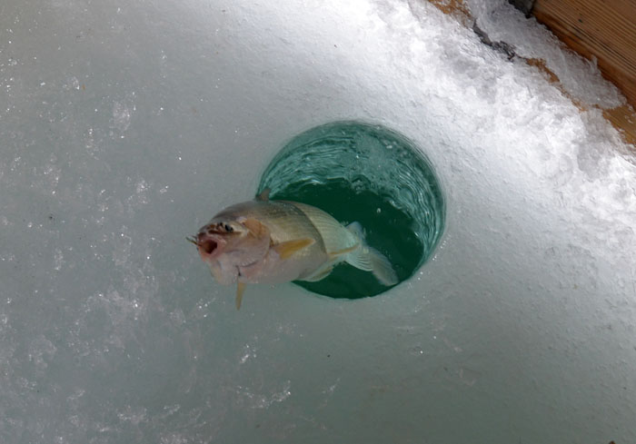 A whitefish slides onto the ice of Green Bay.