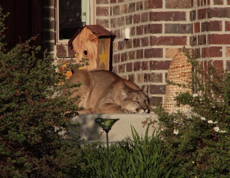 Mountain lion on porch 2 5-25-16