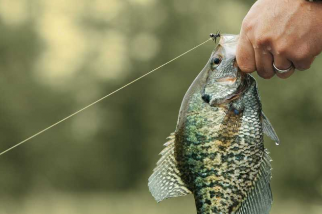Spring crappie beauty May 13 2016