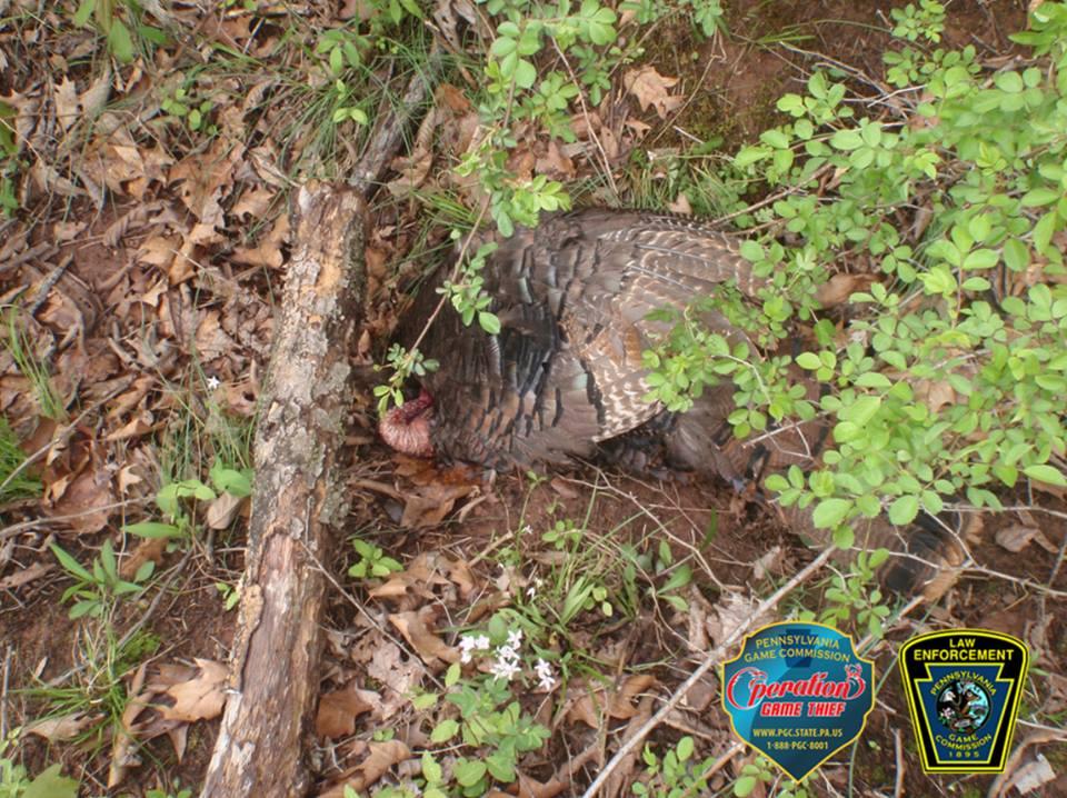 turkeypoacher256
