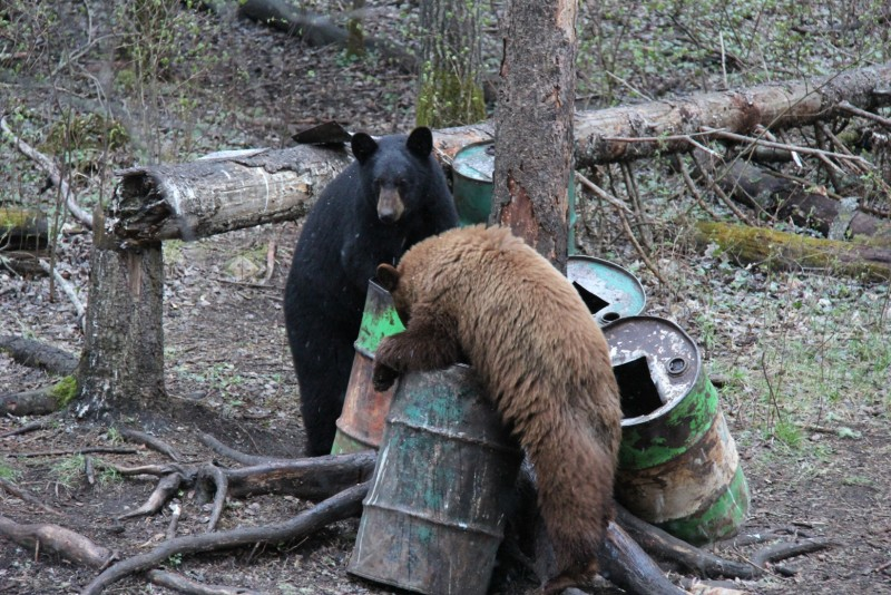 Color phase bears like this cinnamon (right) are fairly common in the Duck Mountains, but blonde bears are rare no matter where you go.