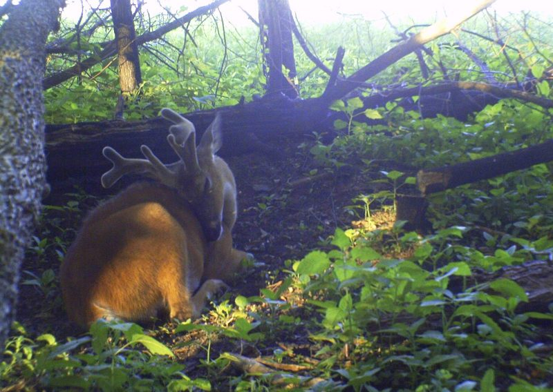 Creating individual whitetail beds might seem a little over the top, but this buck sure likes the idea. He's lying in a bed created just for that purpose.