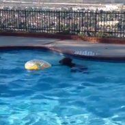 Swimming Bear 6-27-16