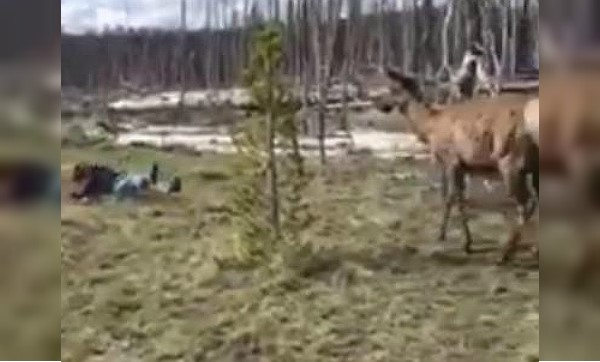 Video Yellowstone Tourist Charged By Elk After Attempting
