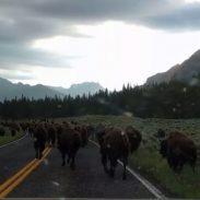Bison Traffic jam 7-28-16