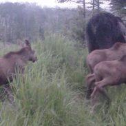 Moose Trio 7-25-16