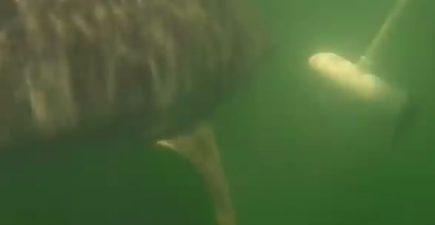 Shark Motor 7-25-16