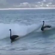 Swans surfing 7-26-16