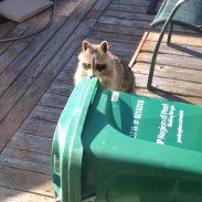 raccoon726
