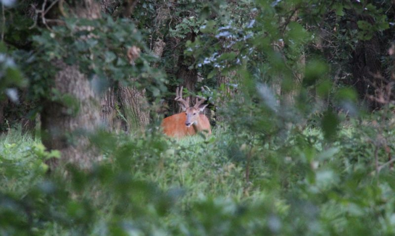 Velvet buck 8-23-16