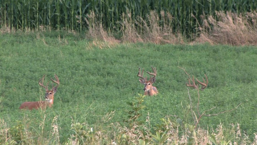 You can learn a lot about the bucks in your area by watching and observing where they feed in the open during August.