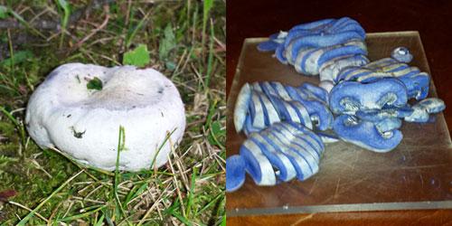 Indigo milkcap mushroom; image by Kurt Beckstrom