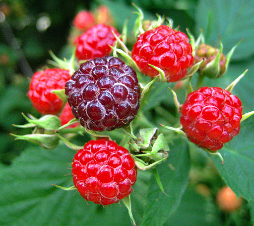 Wild raspberries; image by Ben Stephenson from Wikimedia Commons