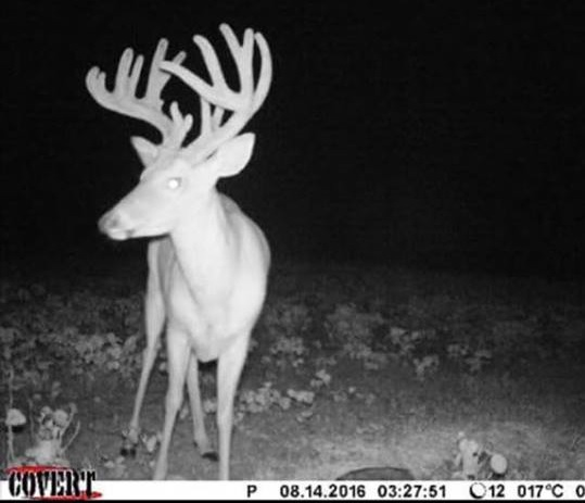 This is a buck that Chad Onek and his staff watched all last year as a 3-year-old. When the deer showed back up this summer, he jumped straight toward the top of the hit list.
