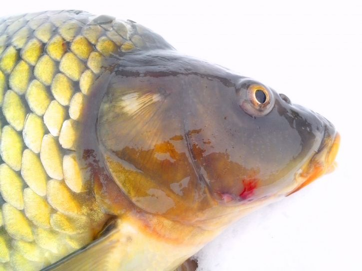 wild-carp-fish-head-with-a-white-background-725x544