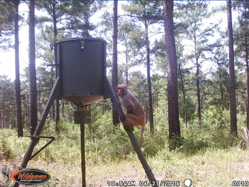 Monkey Caught On Trail Cam And Nobody Knows Where It Came