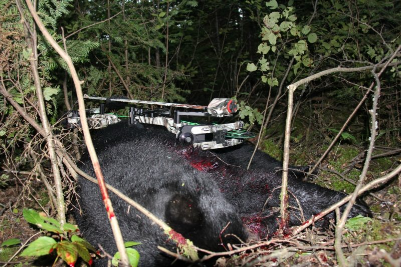 My bear fell in thick cover on 35 yards behind the bait. Bowhunting for bears with good equipment is adrenaline charged, and bruins don't go far when hit well.