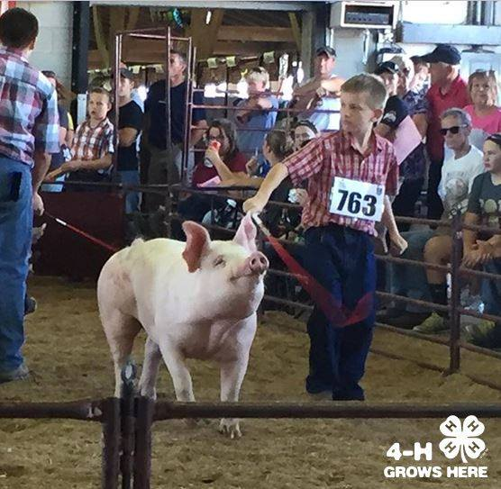 4-h-showing-pigs 10-3-16