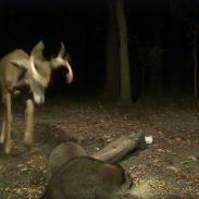 Buck Fights Raccoons Over Corn Pile