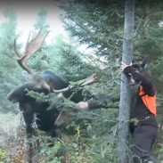 Guy Messes with Bull Moose Gets Very Lucky