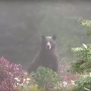 Hunters Accidentally Call Grizzly Bear Instead of Elk