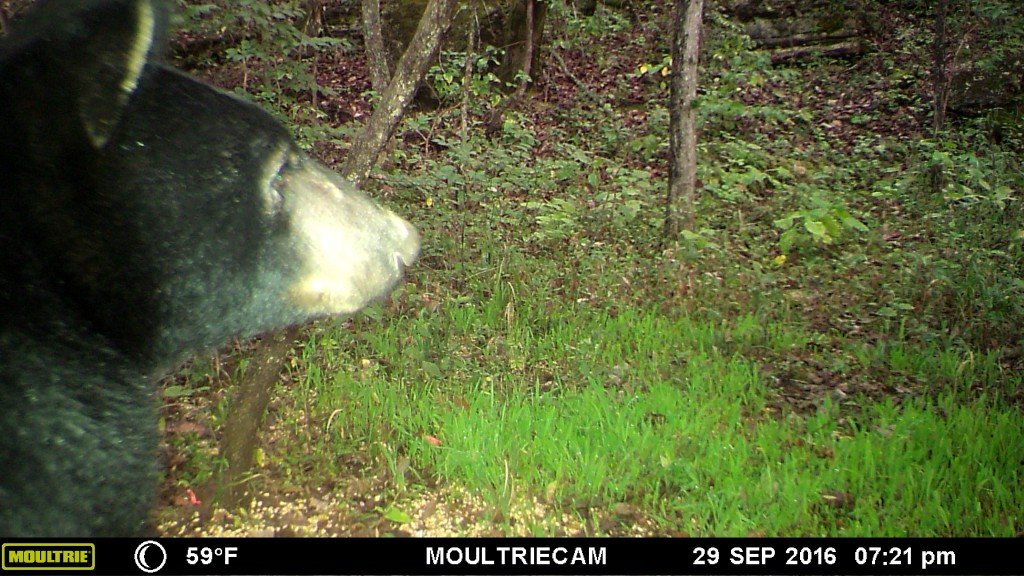 Kentucky Black Bear