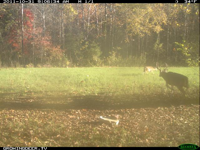During the pre-rut, mature bucks are active during daylight hours as they search for a doe in heat.