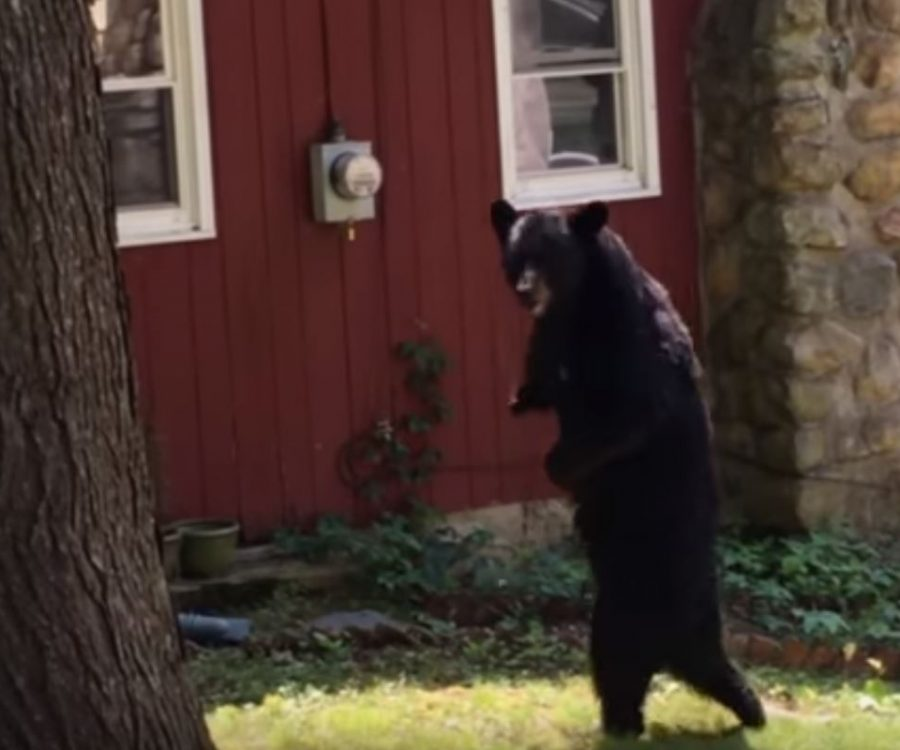 Pedals the Walking Bear