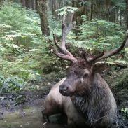 Elk Takes Pre-Rut Bath in Wallow Pit