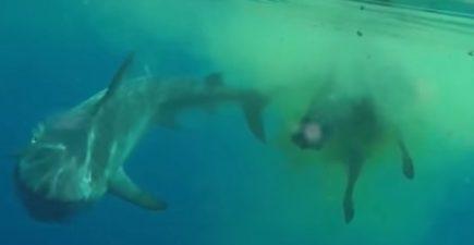 Shark Devouring Cow Floating in Ocean