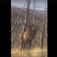 elk-bugle-closeup 10-28-16
